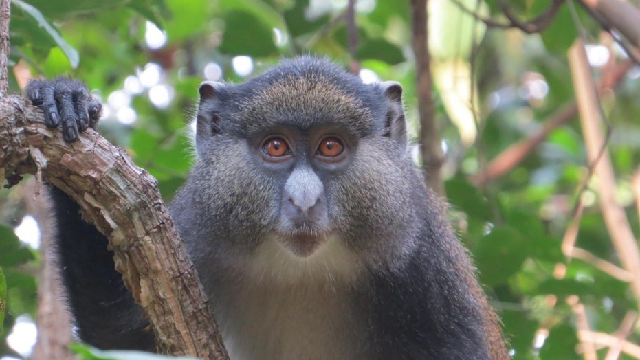 """Jimmy"" is a hybrid male monkey in Dr. Kate Detwiler's study group in Gombe National Park. (Credit: Maneno Mpongo / Gombe Hybrid Monkey Project)"