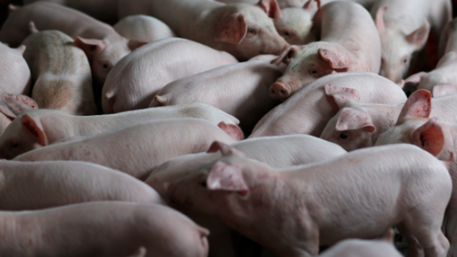 Revolutionary Step to Immortality: Pig Brains Kept Alive Outside of Bodies
