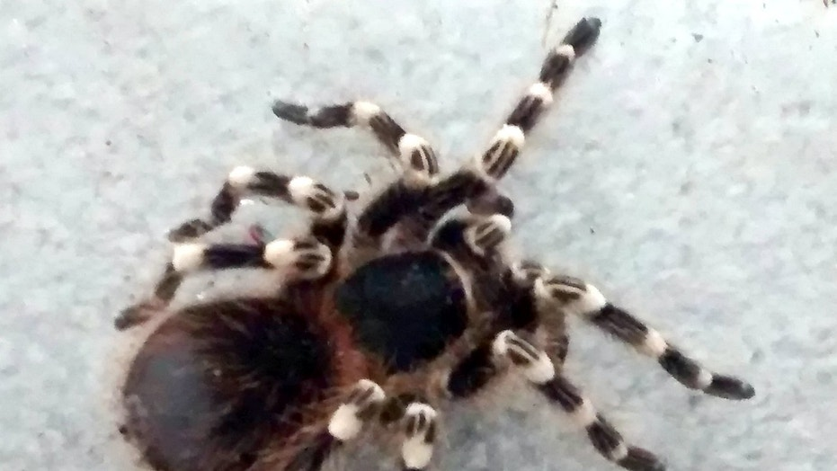 A tarantula has been rescued after being found in a trash can in a U.K. park.