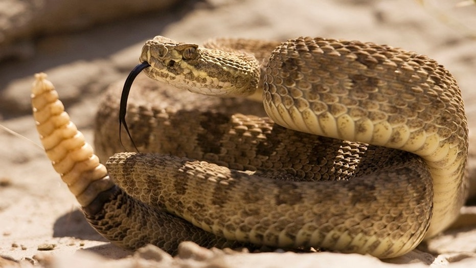 The man had wrangled snakes before, which is why he was confident he would be able to remove the rattler from the road.