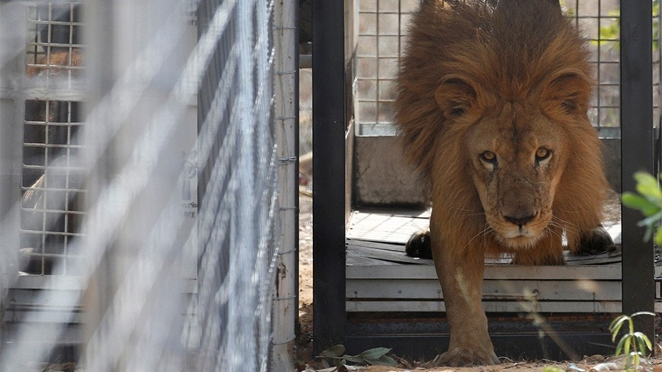 File photo - May 1, 2016: One of 33 lions rescued from circuses in Peru and Columbia is released at its final destination: an animal sanctuary in South Africa's Limpopo province. A man was attacked by a lion at another game reserve in the region on Monday, police said.
