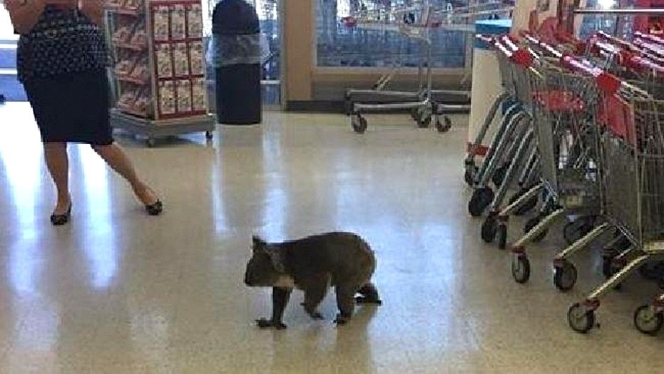 The koala spent between five and 10 minutes in the supermarket before it idled out.