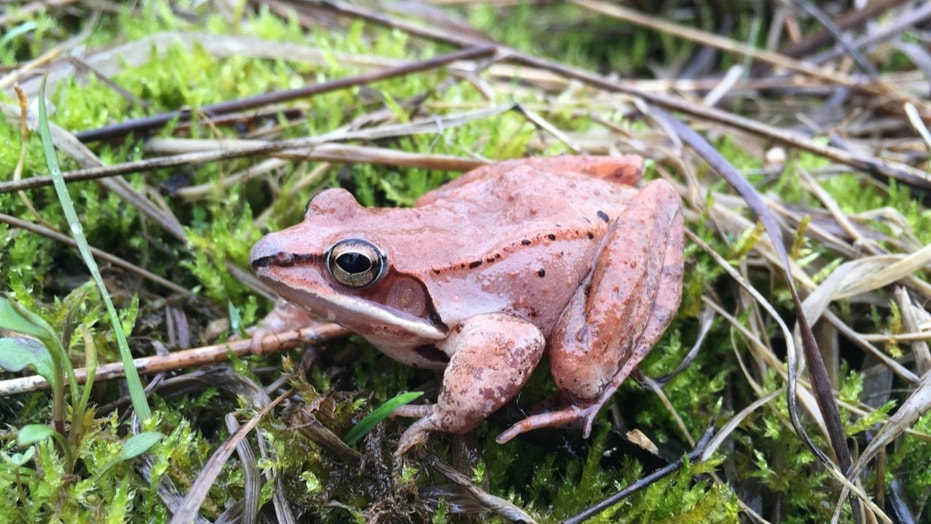 This April 24, 2018 photo provided by Clara do Amaral shows a wood frog in Ohio. In a report released on Tuesday, May 1, 2018, scientists have found that wood frogs, which don't urinate in the winter, recycle urea _ the main waste in urine _ into useful nitrogen which keeps the small animals alive as they hibernate and freeze, inside and out. It doesn't warm them up, but protects cells and tissues, even as the amphibian's heart, brain and bloodstream stop. (Clara do Amaral, Mount St. Joseph University via AP)