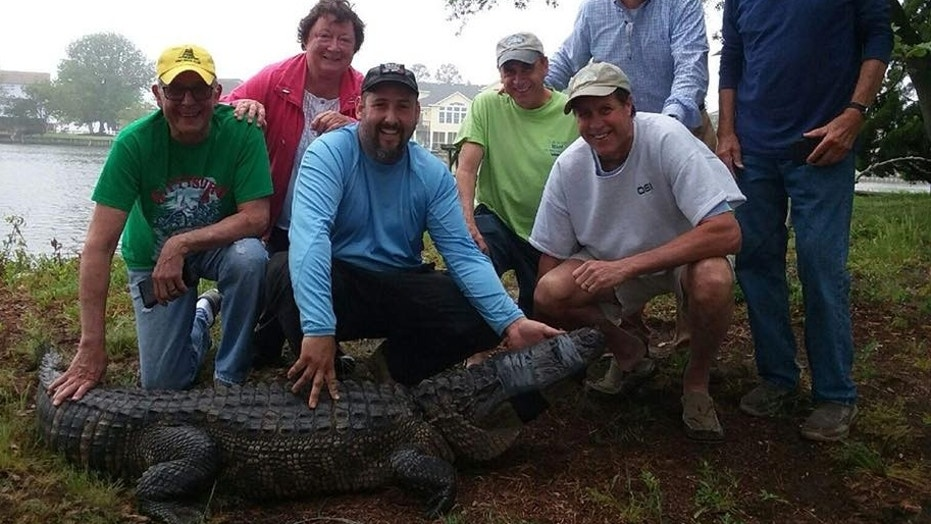 The gator was nearly 10-feet long, the researchers said.