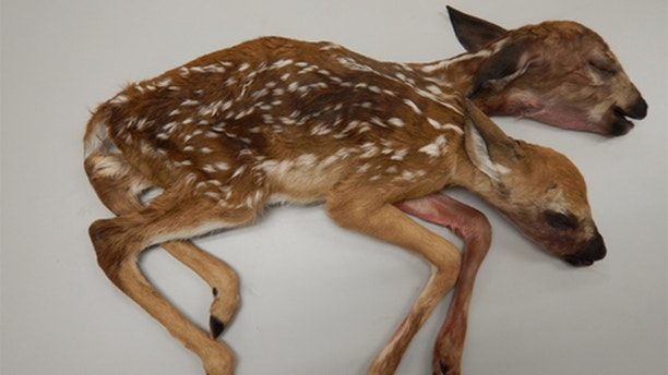 Conjoined Fawn 1