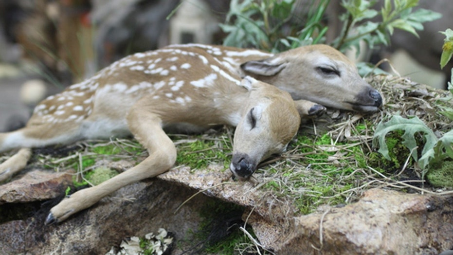 The conjoined fawns discovered in Minnesota in 2016 are the first recorded case of conjoined white-tailed deer brought to full-term and born, according to a recently published study. The fawns have since been mounted on a bed of greenery by a taxidermist.