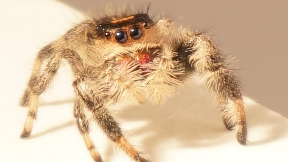 """When scientists said """"Jump!"""", this spider said, """"How high?"""" Credit: Mostafa Nabawy/The University of Manchester"""