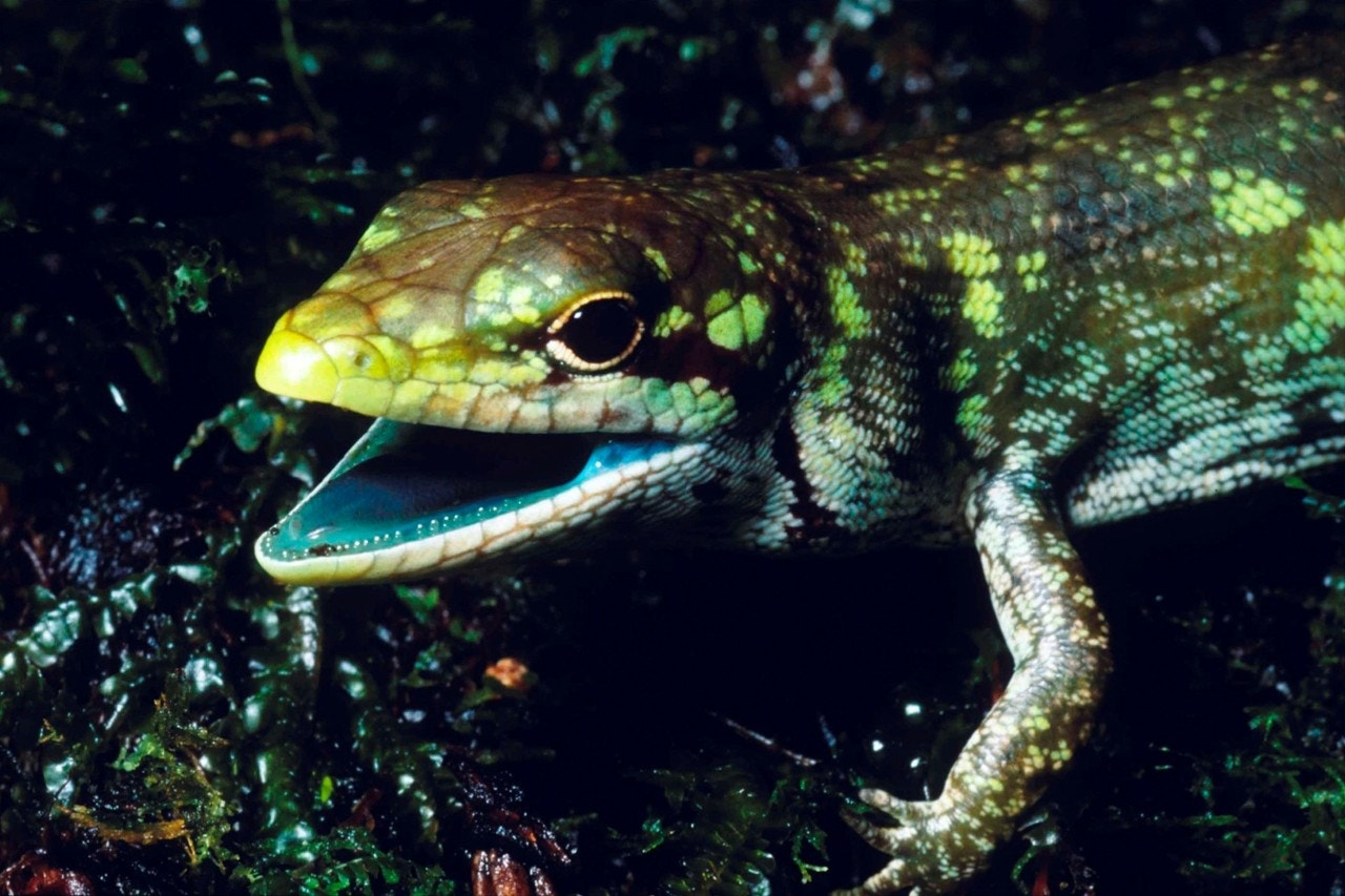 Green-blooded lizards pose evolutionary puzzle