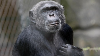 Pedro the Chimpanzee sits in his enclosure in Berlin Zoo, June 9, 2009. Berlin zoo director Bernhard Blaszkiewitz, who banned keepers from feeding animals by hand, had his index finger bitten off by chimpanzee Pedro on Monday. Blaszkiewitz is currently undergoing surgery to reattach his finger.      REUTERS/Fabrizio Bensch (GERMANY)  FOR EDITORIAL USE ONLY. NOT FOR SALE FOR MARKETING OR ADVERTISING CAMPAIGNS - BM2E569107C01