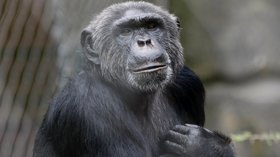 Chimpanzee nests hold less fecal and skin bacteria than human beds, a study released Tuesday said.