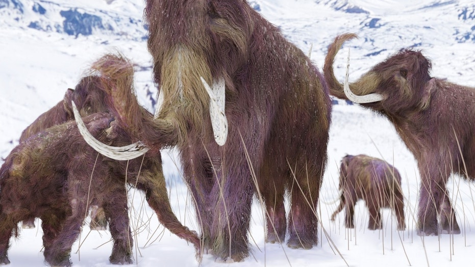An illustration of a family of Woolly Mammoths grazing on what is left of the grasses as winter approaches in this ice age scene.  (Aunt_Spray)  (Credit: iStock)