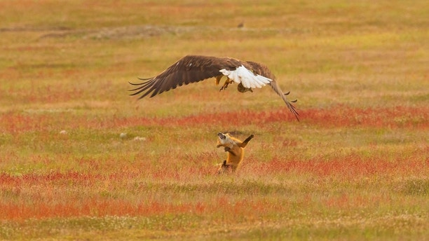Eagle snatches fox holding rabbit in mouth in dramatic images – Trending Stuff