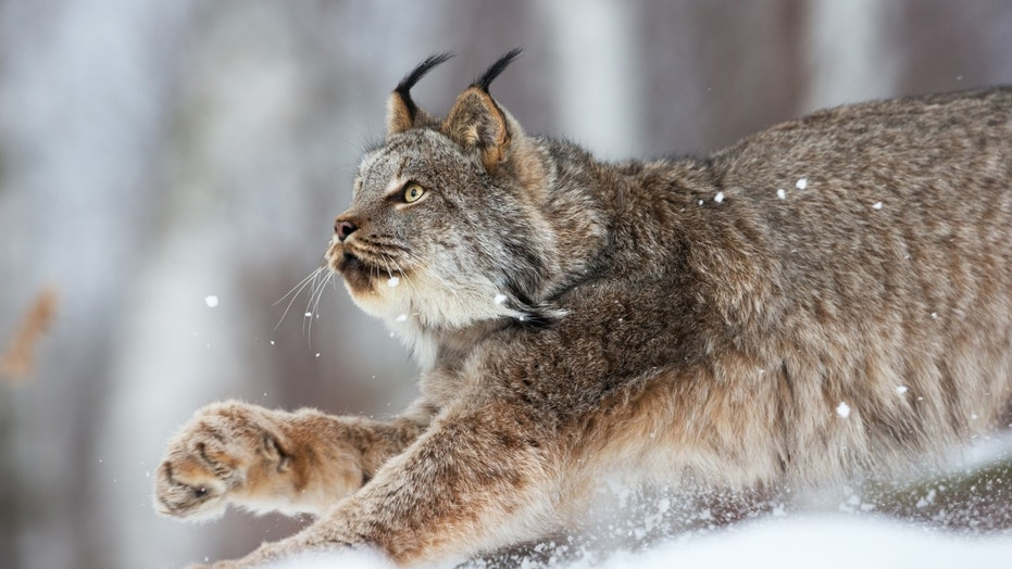 Canadian lynx on the prowl in Northern Minnesota wilderness.