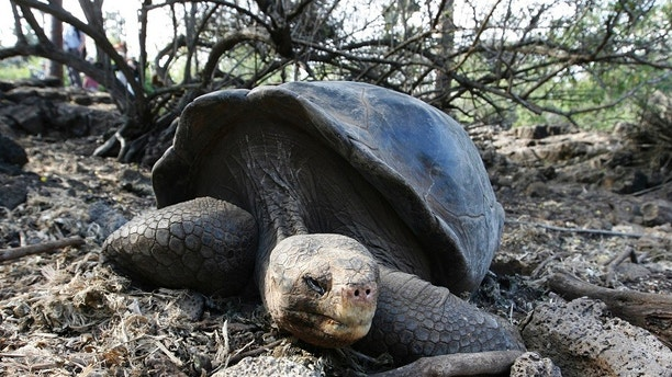 A giant tortoise is seen at its shelter at Galapagos National Park in Santa Cruz September 15, 2008.     REUTERS/Guillermo Granja (ECUADOR) - GM1E49G0WBA01