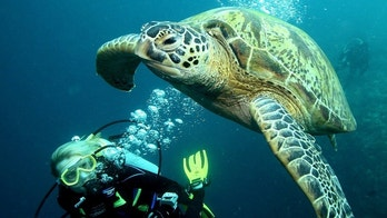 -PHOTO TAKEN 07NOV05- A diver swims near a giant turtle at a diving site near the island of Sipadan in Celebes Sea east of Borneo November 7, 2005. - PBEAHUNTWAY
