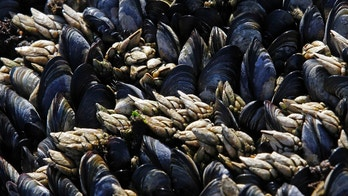 Goose barnacles (white) are seen with mussels on a seaside cliff in Ericeira, 50 km (31 miles) north of Lisbon, June 20, 2012. Maria, 69, and Joao, 75, live with a monthly pension of 270 euros collecting goose barnacles and do subsistence farming. REUTERS/Jose Manuel Ribeiro (PORTUGAL - Tags: BUSINESS EMPLOYMENT FOOD ENVIRONMENT) - GM1E87K1O7H01