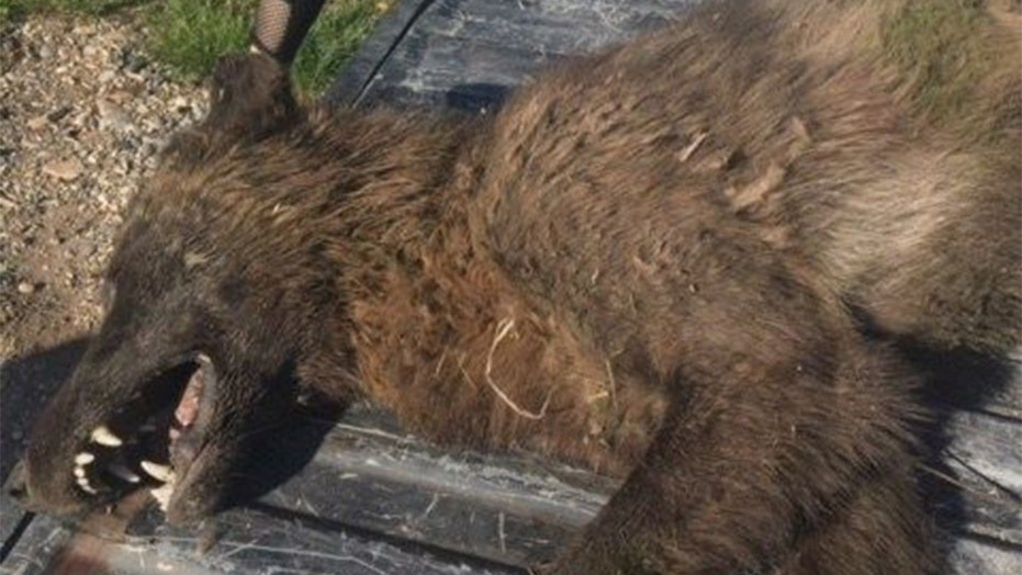 A rancher in Montana reported shooting a wild animal that has wildlife officials wondering what it was .