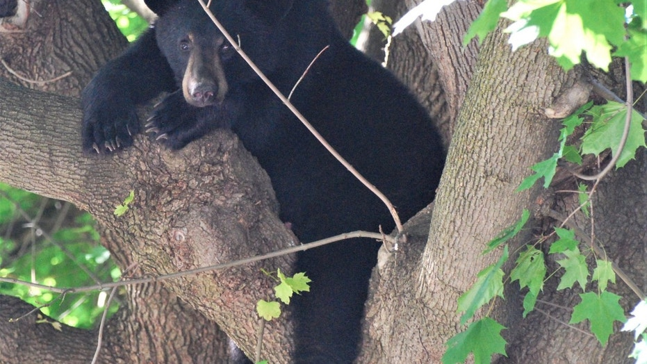 The black bear was sedated before it was removed from the tree.