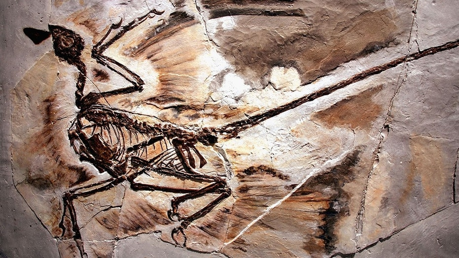 A fossil of a microraptor from Liaoning Province in China. The crow-sized dinosaur lived about 125 million years ago.