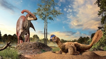 A duckbill dinosaur (left) next to its eggs buried in the ground, and a birdlike oviraptorid dinosaur (right) incubating its eggs in an open nest.