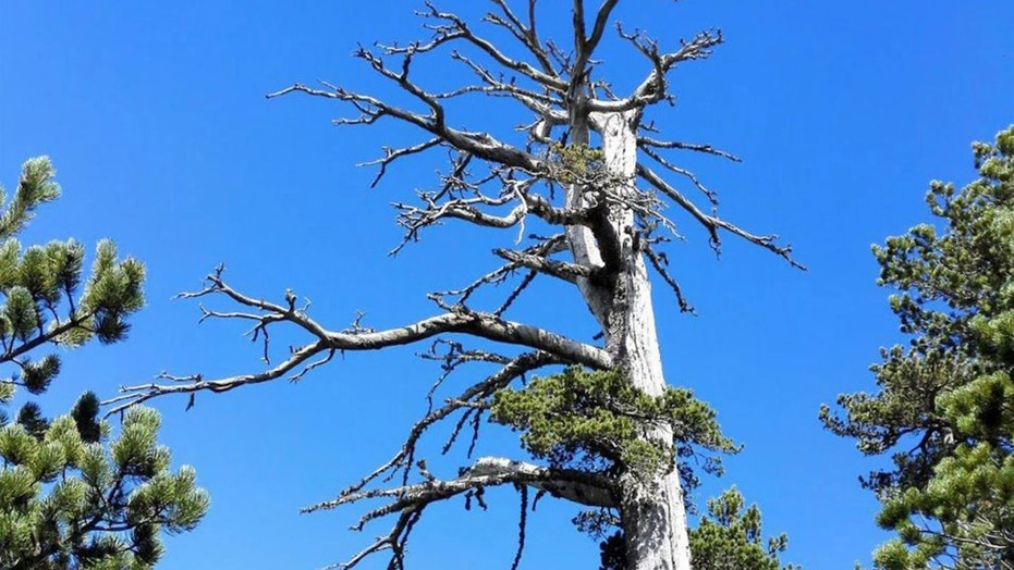 Meet Italus, a 1,230-year-old pine tree from Italy who just became the oldest scientifically-dated tree in Europe. Credit: Gianluca Piovesan