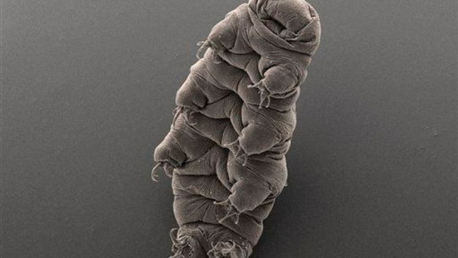 A tardigrade. (AP Photo/Bob Goldstein & Vicki Madden, UNC Chapel Hill)