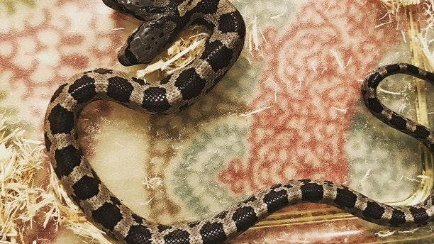"A rare two-headed snake which is being raised by a family after it was discovered in a backyard. See SWNS story NYSNAKE; Wildlife educator Tanee Janusz, 39, adopted the western rat snake when a fellow member of her naturalist society found it slithering around his garden. The reptile, which is ten months old and a foot long, has two heads due to a genetic defect which affects just one in 10,000 births.The deformity - caused when the embryo does not divide fully - means the animal has two brains but a single respiratory system, digestive tract and body. Mum-of-three Tanee has named the heads Filé and Gumbo and refers to them as 'the twins' because they have different personalities. While Gumbo is the dominant side, both are ""feisty"" and they often end up wrestling after trying to go in opposite directions. Tanee, of New Orleans, Louisiana, now tours schools, libraries and scout groups educating people about the rare animal. She said: ""When I first saw them I thought they were the neatest little things ever. ""Two-headed snakes are not totally unheard of but they are pretty rare and this is the first time I have been in charge of caring for one."