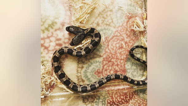 """A rare two-headed snake which is being raised by a family after it was discovered in a backyard. See SWNS story NYSNAKE; Wildlife educator Tanee Janusz, 39, adopted the western rat snake when a fellow member of her naturalist society found it slithering around his garden. The reptile, which is ten months old and a foot long, has two heads due to a genetic defect which affects just one in 10,000 births.The deformity - caused when the embryo does not divide fully - means the animal has two brains but a single respiratory system, digestive tract and body. Mum-of-three Tanee has named the heads Filé and Gumbo and refers to them as 'the twins' because they have different personalities. While Gumbo is the dominant side, both are """"feisty"""" and they often end up wrestling after trying to go in opposite directions. Tanee, of New Orleans, Louisiana, now tours schools, libraries and scout groups educating people about the rare animal. She said: """"When I first saw them I thought they were the neatest little things ever. """"Two-headed snakes are not totally unheard of but they are pretty rare and this is the first time I have been in charge of caring for one."""