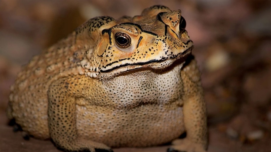 Asian common toads have evolved a toxin that is deadly to Madagascar predators. Credit: Benjamin Marshall