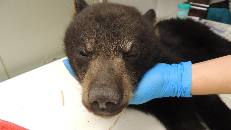 One of the two orphaned black bear cubs.