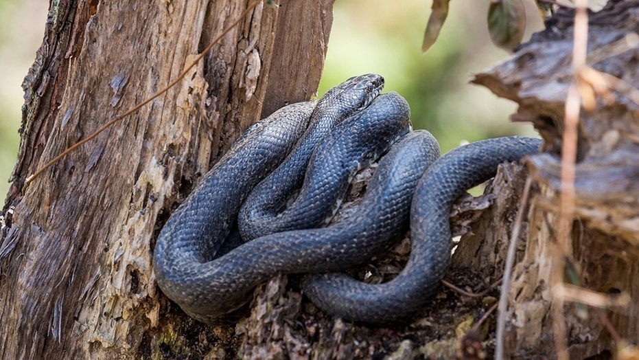 A black rat snake resting in a tree.
