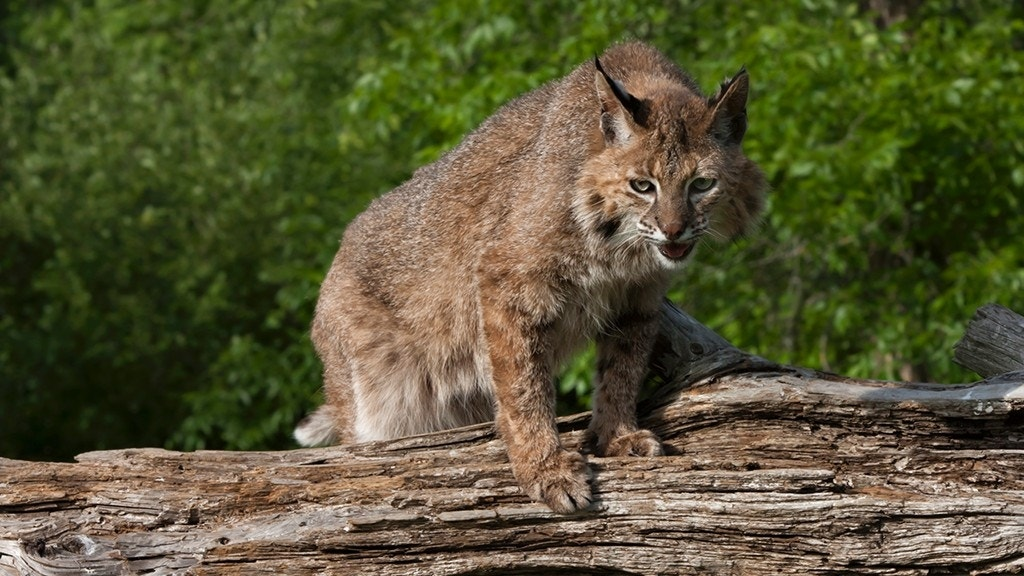 A grandmother strangled a bobcat with her bare hands!