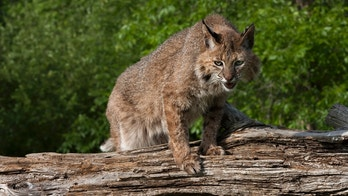 Adult bobcat watching prey from his spot on a log