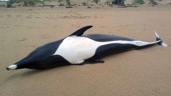 This June 9, 2018, photo provided by the Seaside Aquarium shows a female northern right whale dolphin washed ashore on the beach in Manzanita, Ore. The creature was taken to Portland State University for a necropsy, but the results were inconclusive. More tests were being run to see if experts can determine the cause of the death. (Tiffany Boothe/Seaside Aquarium via AP)