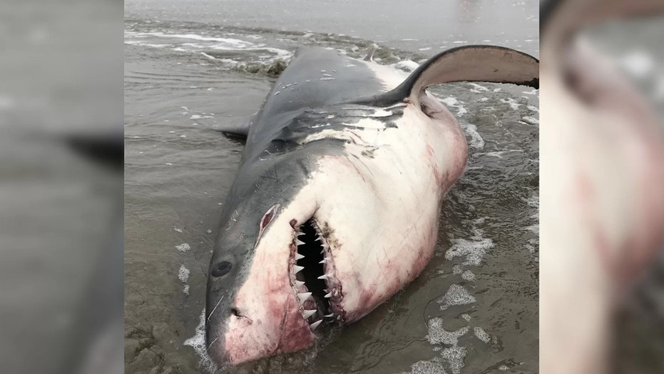 This great white shark is the subject of a criminal investigation in California. Credit: Ashley Kern