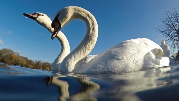 Swans swim in Hyde Park in central London, Britain January 2, 2017. REUTERS/Stefan Wermuth - LR1ED1211A95P