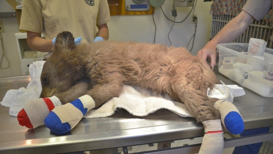 The bear cub is expected to be released back into the wild this winter.