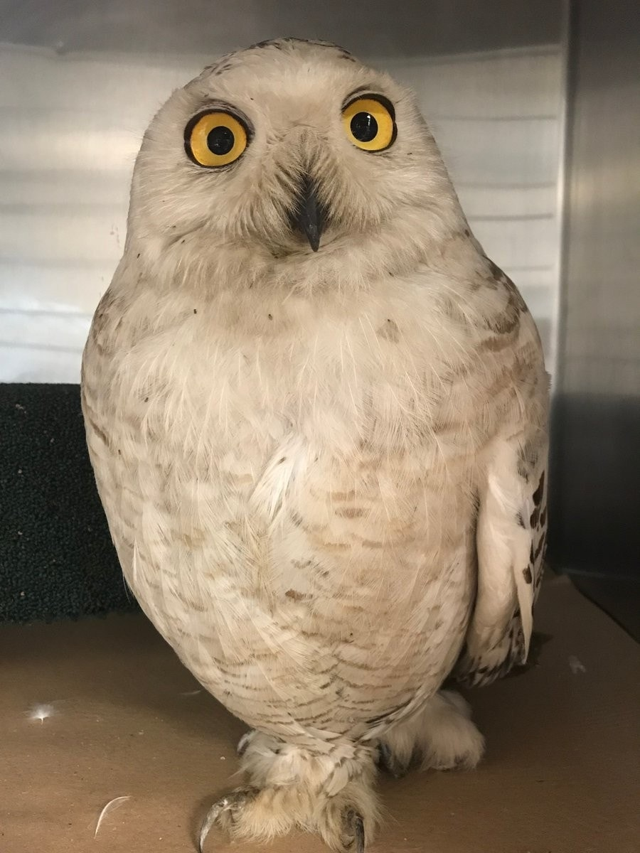 Rare snowy owl found in famed New York City jail
