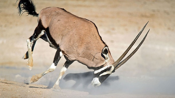 Pic Dirk Theron/Caters News - (Pictured: The oryx and honey badger lunge at each other as the honey badger goes for the oryxs legs.) - A honey badger has been flung through the air after attempting to attack an oryx. Dirk Theron, 45, from Cape Town, South Africa, was visiting Etosha National Park, when he spotted the fighting pair.The photos show the honey badger attacking an oryx and despite being flung six metres into the air he refuses to give up and keeps on coming back for more.SEE CATERS COPY