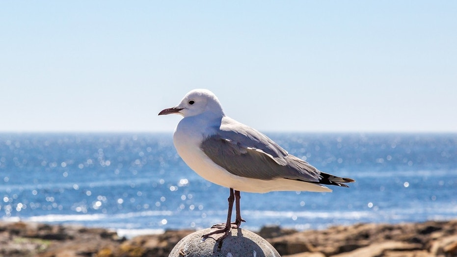 Dozens of drunk seagulls found on beaches in southern england fox news file photo a seagull perched on a post with the ocean behind altavistaventures Image collections