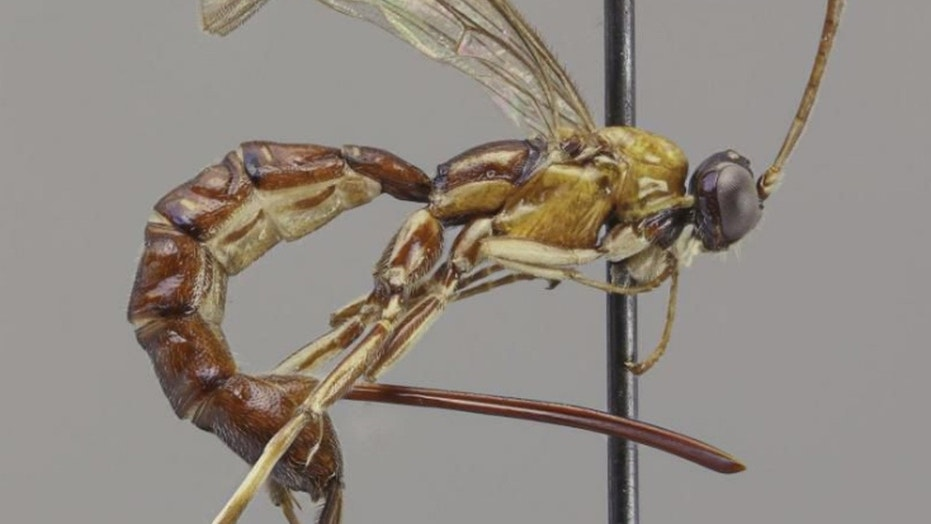 "Scientists discovered a wasp whose stinger ""looks like a fierce weapon."""