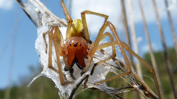 Cheiracanthium punctorium, one of several species commonly known as the yellow sac spider, is a spider found from central Europe to Central Asia.