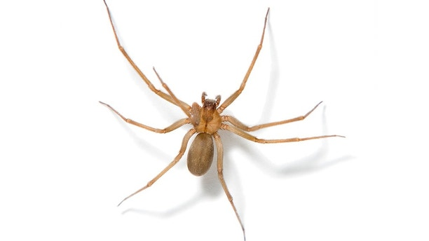 Brown recluse spider on white.
