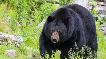 Huge Male black bear