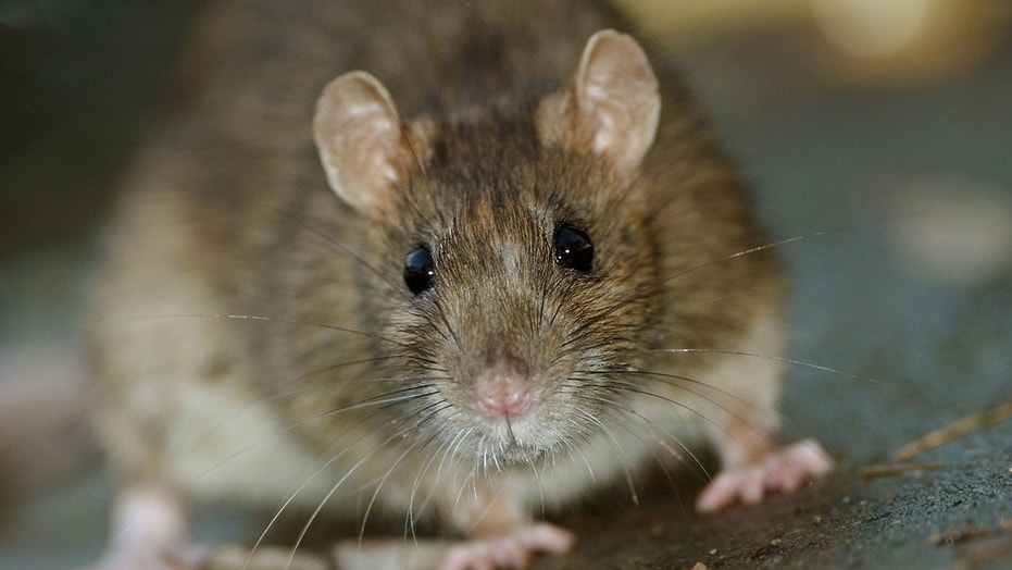 Rat chews through cable at ballet performance, plunges it into darkness