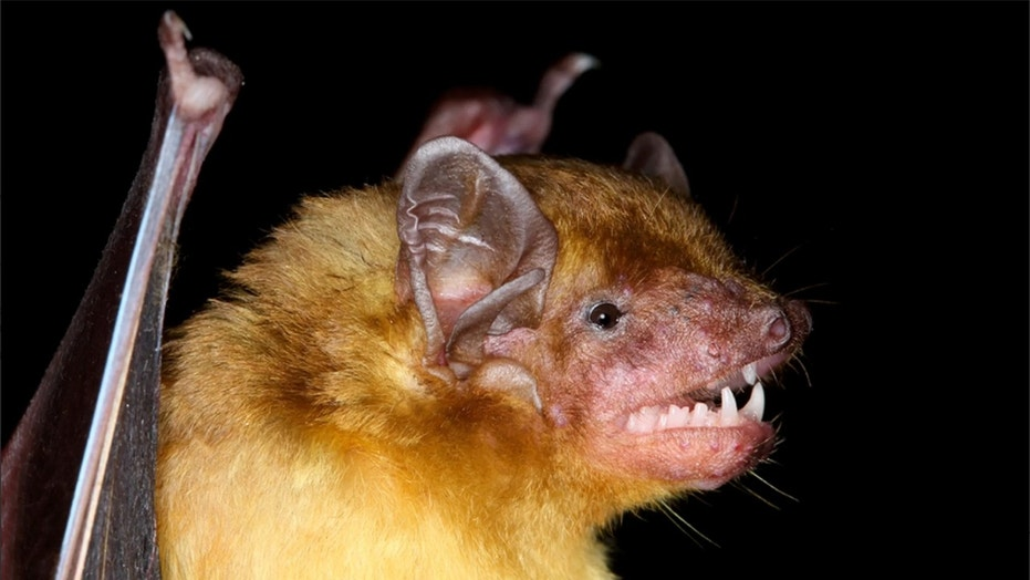 Two lemon-yellow bat species discovered in Africa. And they're adorable fuzz balls.