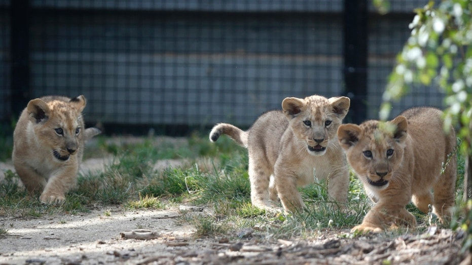 File photo: Three lion cubs are seen making their first public appearance in their enclosure at Paris Zoological Park in the Bois de Vincennes in the east of Paris, France, June 26, 2015. (REUTERS/Charles Platiau)