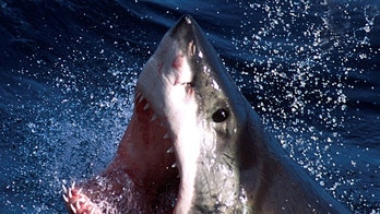 - An undated photo  - of a Great White shark which can now be repelled by a electronic shark shield. An Australian firm unveiled on March 27, 2002 an electronic shark repellant unit which when attached to swimmers legs, emits an electronic field to??? USE ONLY     (Credit : REUTERS/Seachangetechnolgy) - PBEAHUKTBBL