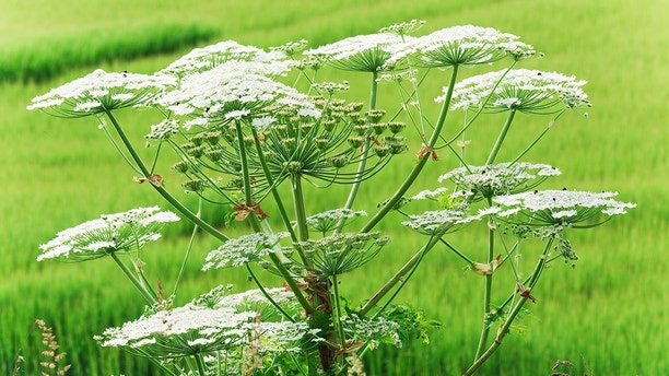 """Giant Hogweed against an out of focus green field.  No friend to gardeners and conservationists , it is much loved by beekeepers (some of whose flock can be seen hard at work on the flowers). This Canon EOS-1D Mk IV image offers a very generous XL size."""
