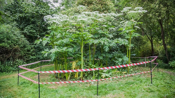 giant hogweed dangerous plant England summer